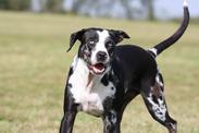 b135a894a50 Louisianský leopardí pes