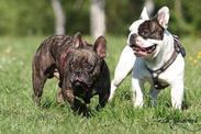 a104df1f4d2 Malý velký pes - Francouzský buldoček