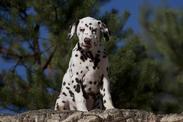 33b9f4817fc Učenlivý i tvrdohlavý dalmatin