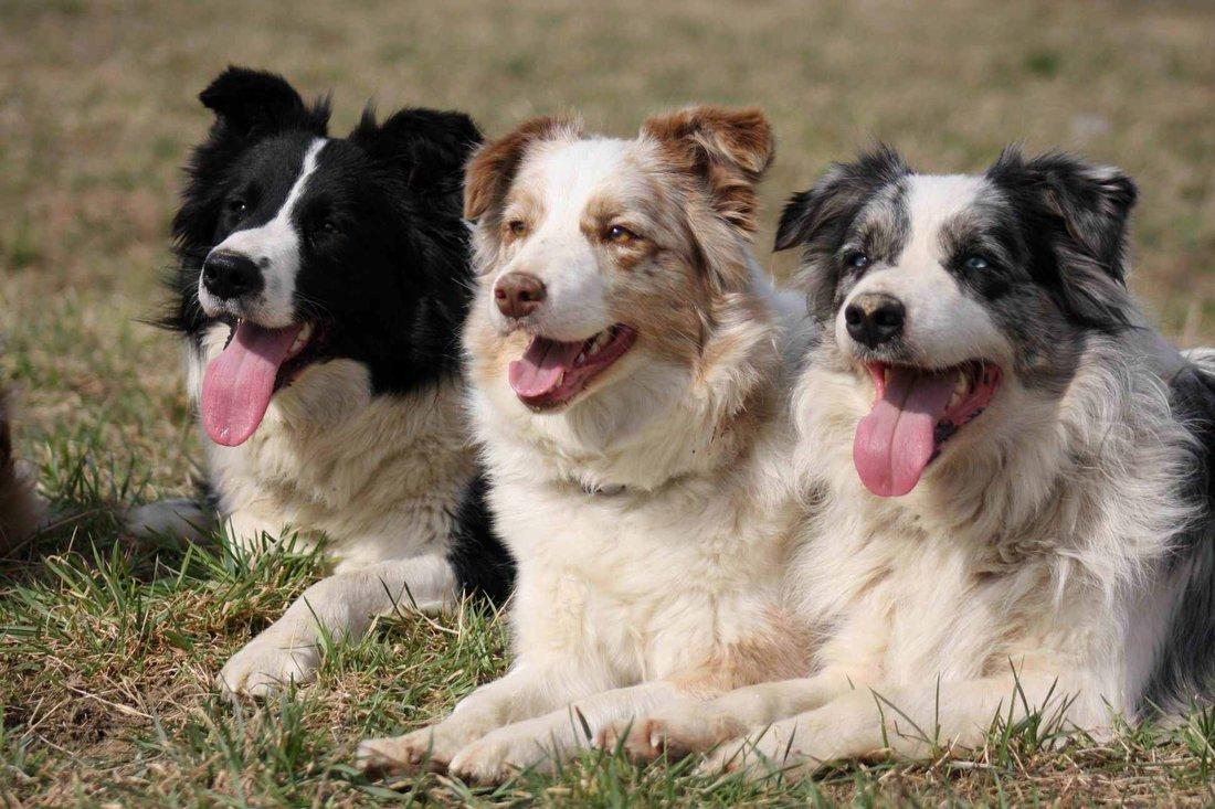 1a4d1913216 Border kolie - Nejchytřejší pes   PESWEB