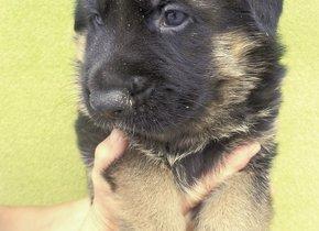 Inzerce psů   PESWEB 583f87cd73