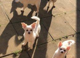 Připraveno nyní KC Longcoat Chihuahuas Girls 32ada78825