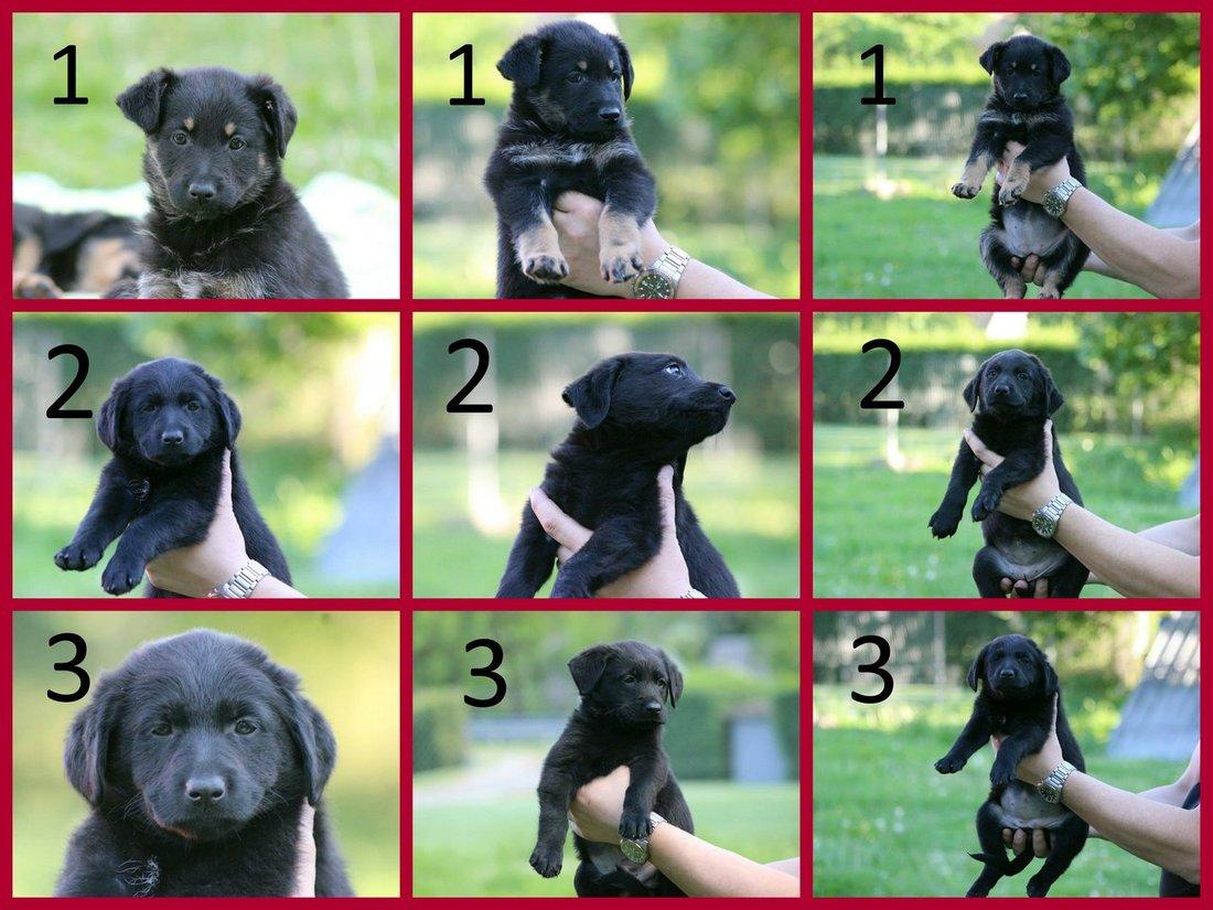 cc83962e1f6 Holky - maminka chodský pes x retriever a tatínek křížený labrador - našla  domov