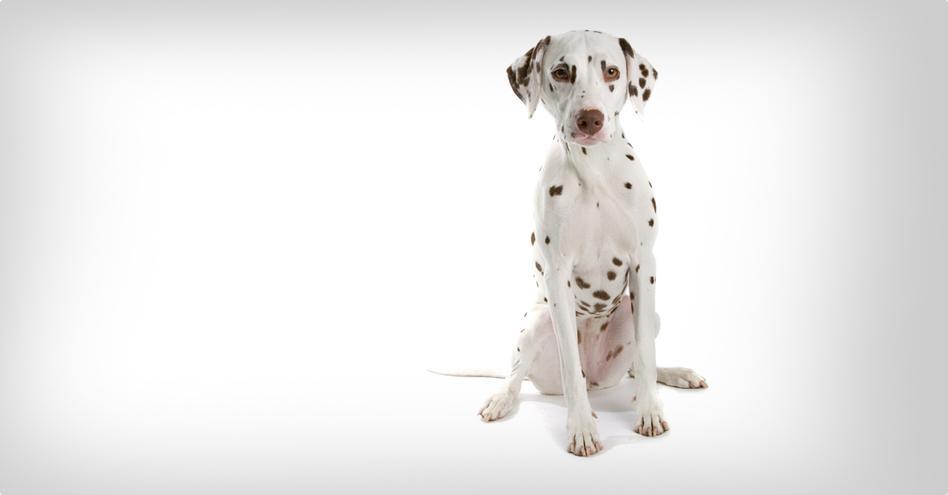 4b8a5989a05 Dalmatin. Pro začátečníky Náročný na pohyb Pro držení doma