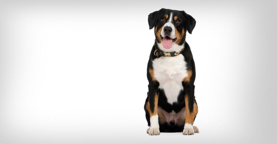 8382ddcb204 Entlebušský salašnický pes
