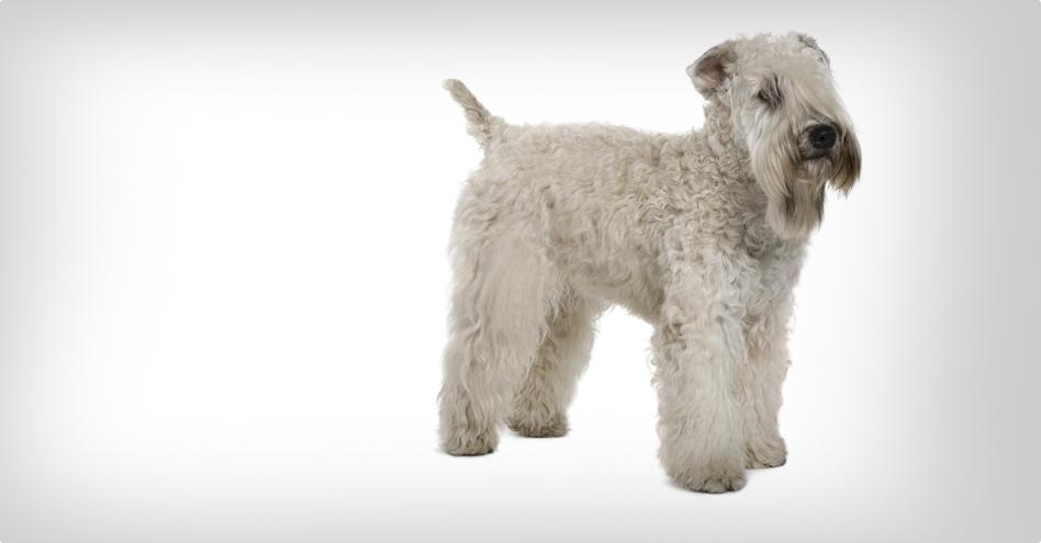 Irish soft coated wheaten teriér