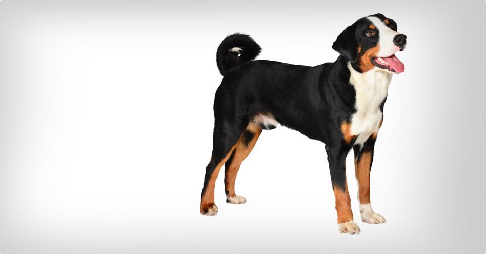 cab1ab23e1e Appenzellský salašnický pes   PESWEB